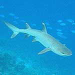 Requin de récif à pointe blanche