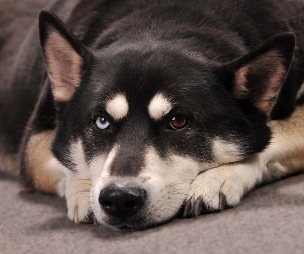chien de berger allemand husky mix