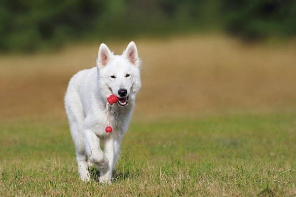 chien de berger blanc