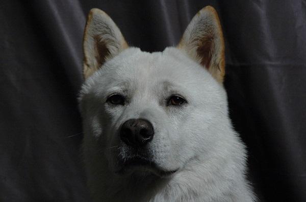 le jindo coréen, une des races de chiens blancs