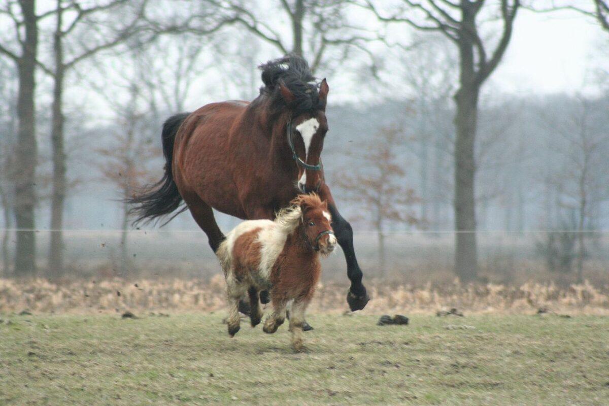 chevaux-poney-quelle-est-la-difference-7