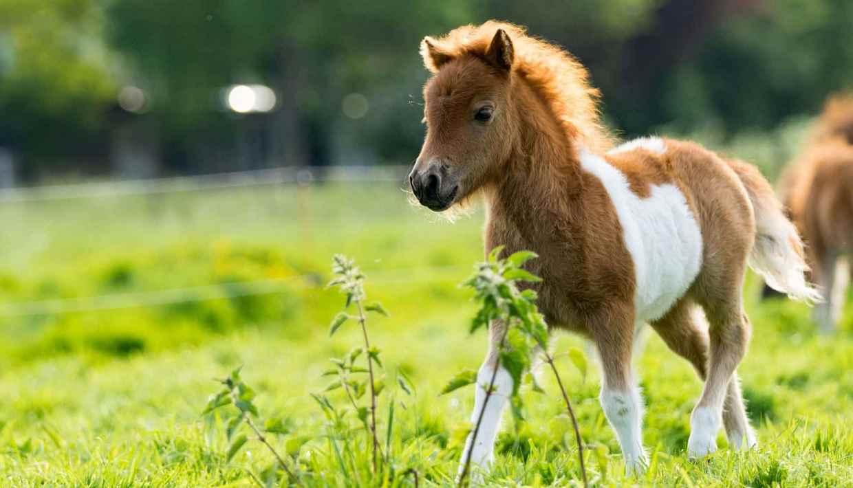 chevaux-poney-quelle-est-la-difference