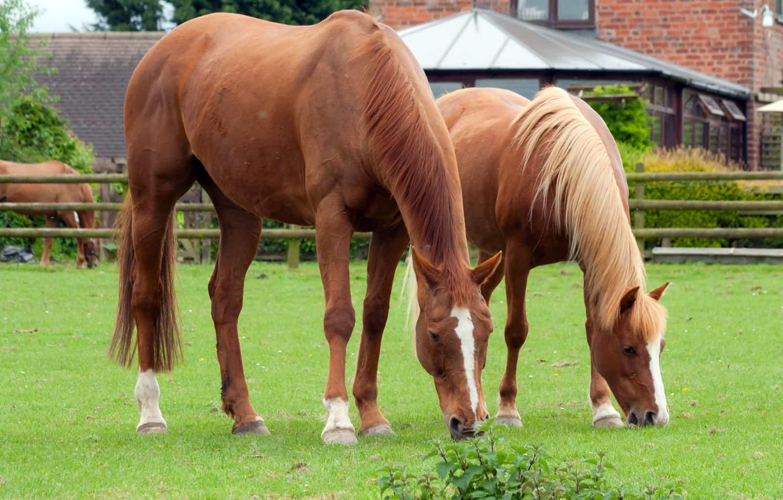 chevaux-poney-quelle-est-la-difference-11