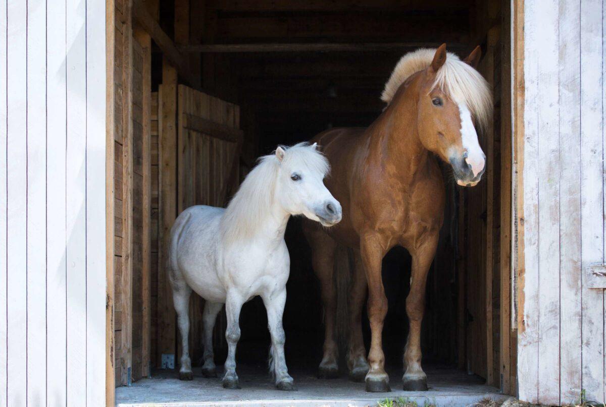 chevaux-poney-quelle-est-la-difference-4