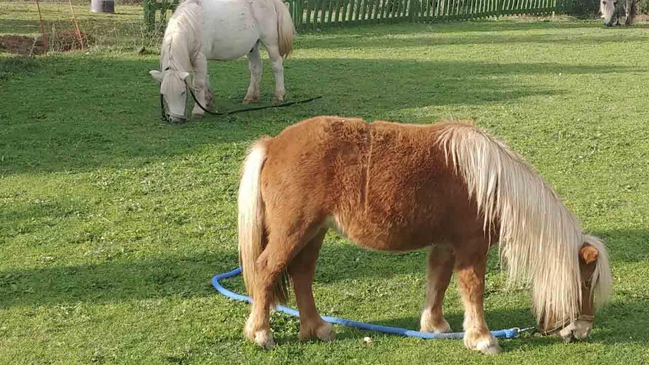 chevaux-poney-quelle-est-la-difference-2