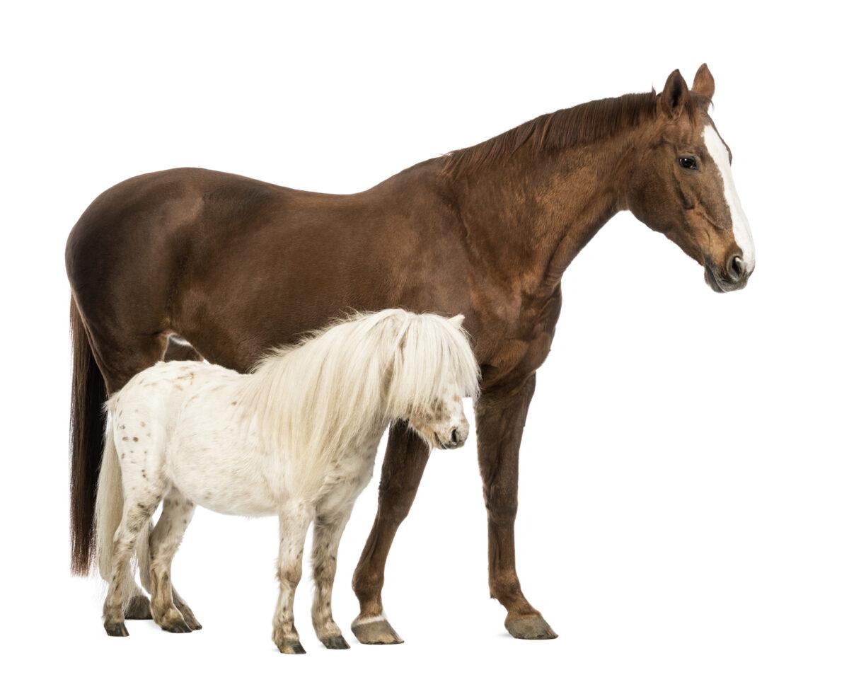 Pony Cavalli, quelle est la différence?